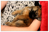 Oscar the Brussels Griffon dog